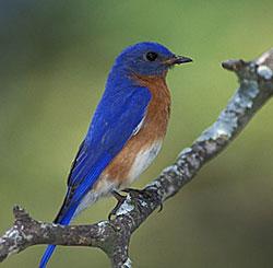 North Carolina Birds: Bluebirds